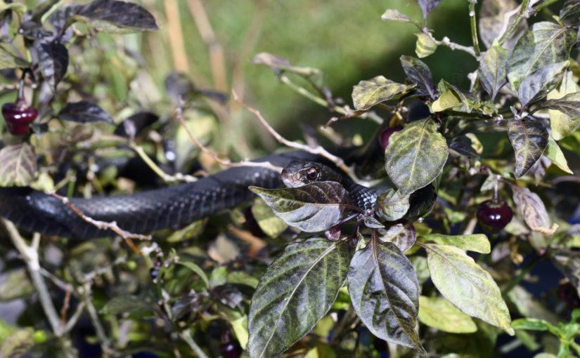 Southern Black Racer Snake (Snakes on a Plant)