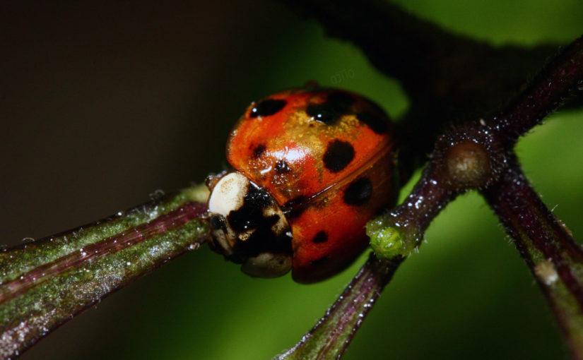 Asian Ladybug (Harmonia Axyridis)