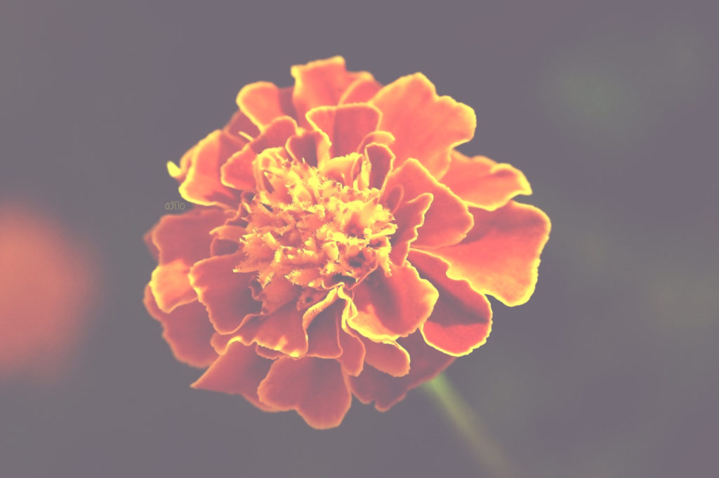 red-cherry-marigold